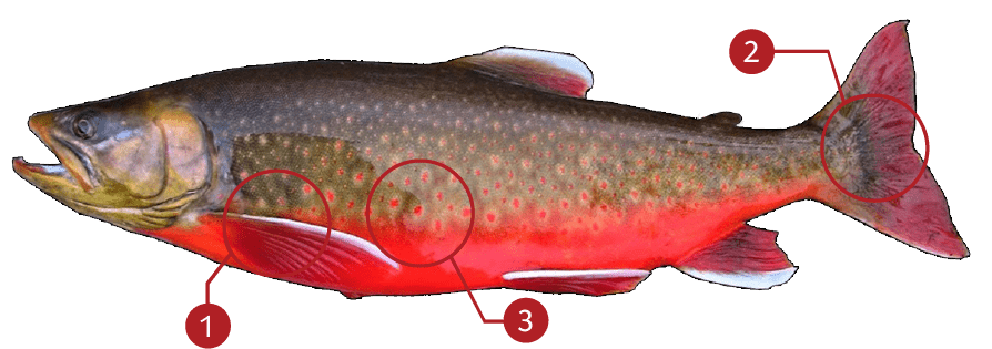 How to Identify a Arctic Char