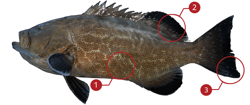 How to Identify a Broomtail Grouper
