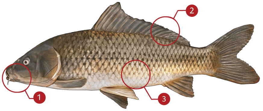 How to Identify a Common Carp