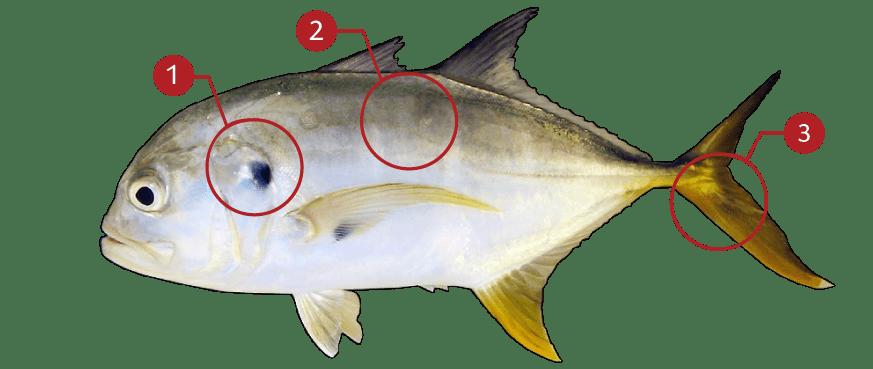 How to Identify Cravalle Jack