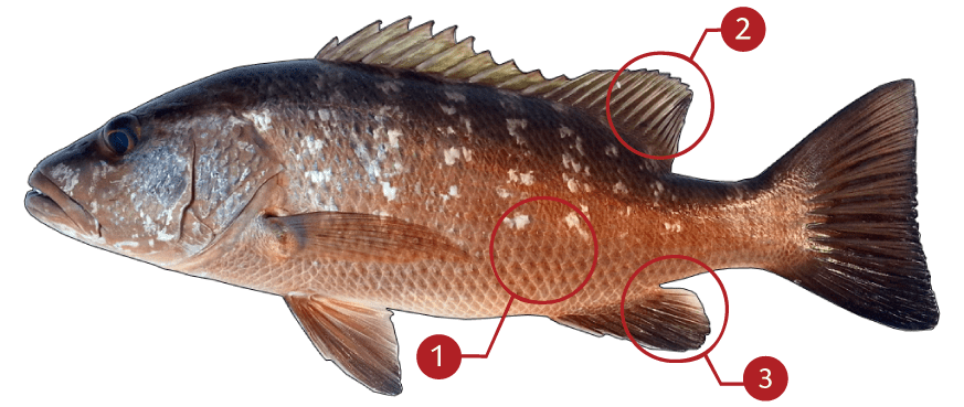 How to Identify a Cubera Snapper