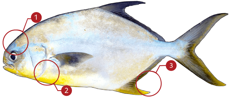 How to Identify Florida Pompano