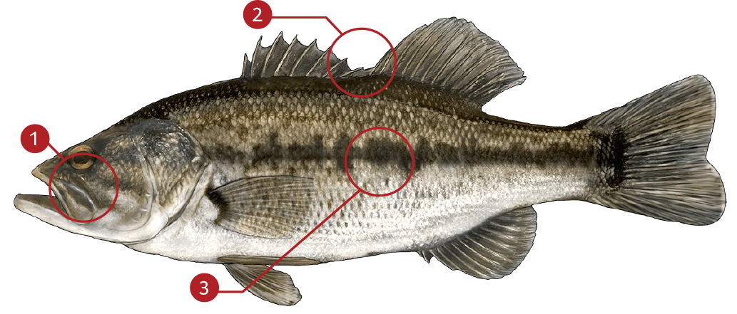 How to Identify a Largemouth Bass