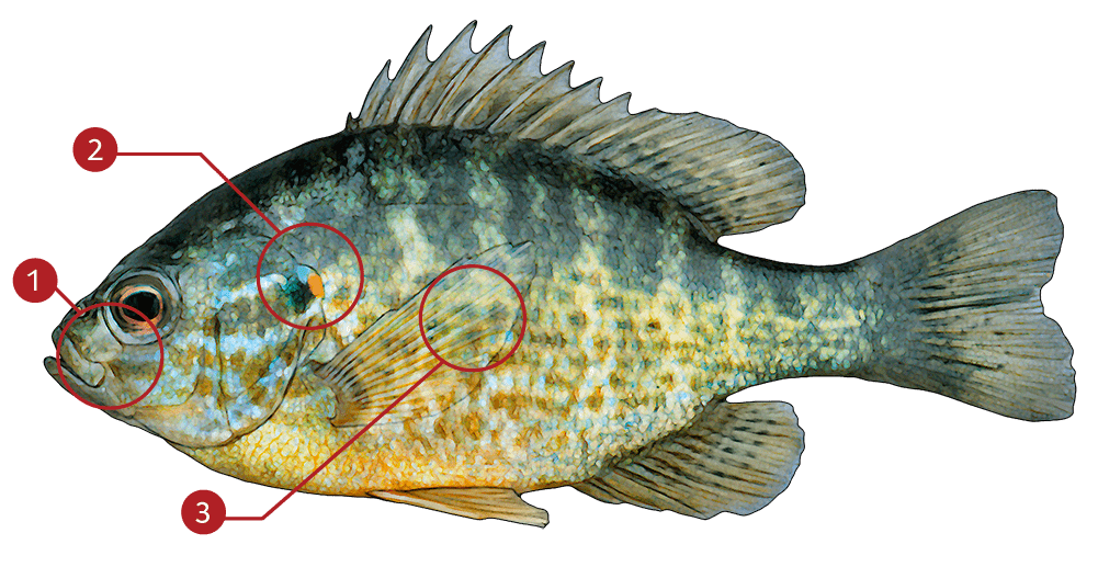 How to Identify a Pumpkinseed