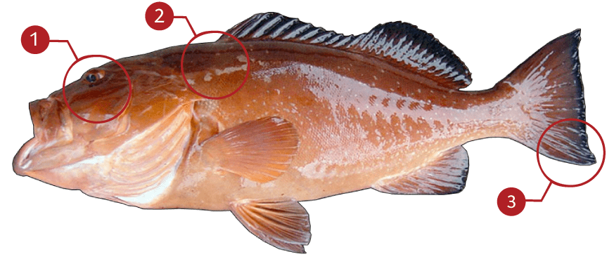 How to Identify a Red Grouper