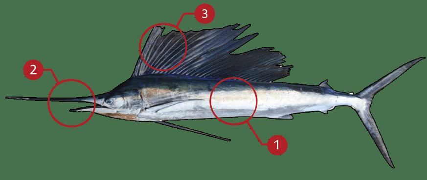 How to Identify Mahi-Mahi