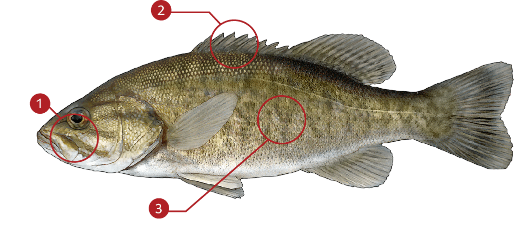 How to Identify a Smallmouth Bass