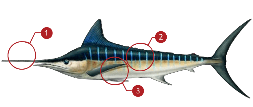 How to Identify an Striped Marlin