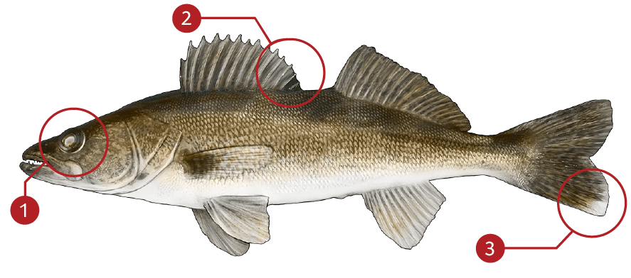 How to Identify a Walleye