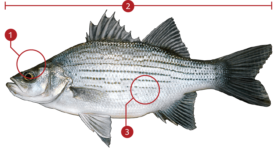 How to Identify a White Bass