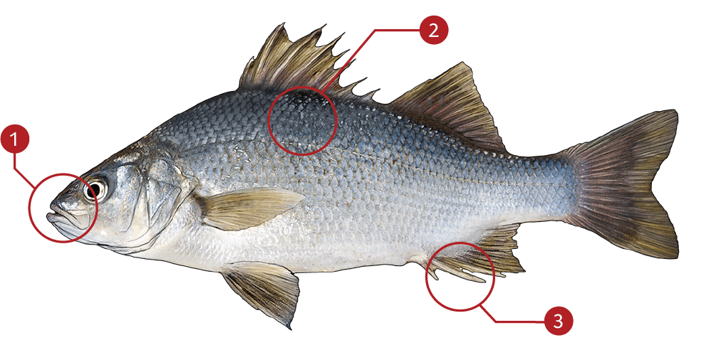 How to Identify a White Perch