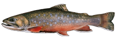 BrookTrout.png