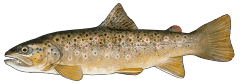 BrownTrout.png