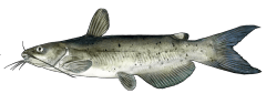 ChannelCatfish.png