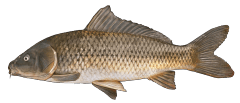 CommonCarp.png
