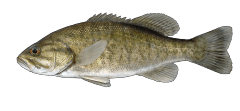 SmallmouthBass.png